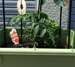 tomato20160501_01